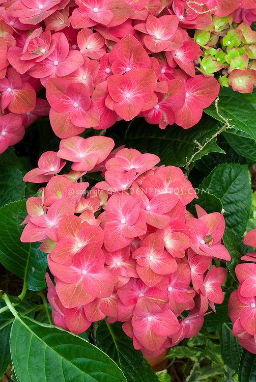 Red Hydrangea macrophylla 'A B Green Shadow' showing closeup of garden hydrangea red flowers with green hints