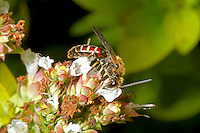Lassioglossum calceatum - male. A solitary bee.