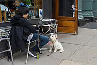 New York, USA, 26 May 2016. A white Westhighland Terrier patiently sits, hoping for food, at a sidewalk cafe in TreBeCa.The New York CityHealth Department began to allow dogs at sidewalk cafes in the City in 2017.  ©Stacy Walsh Rosenstock
