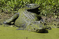 Lousiana Alligator