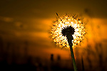Dandelion flower heads in a cow pasture against the setting sun.