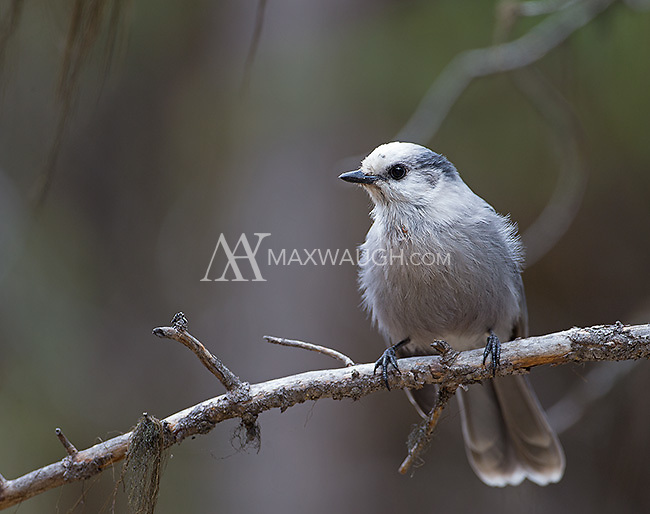 Gray jays are a common sight in the forests of Yellowstone.