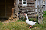 Old Bethpage, New York, USA. August 30, 2015. A domesticated white Embden goose, with blue eyes, orange bill and feet, is honking loudly in the barnyard of the Powell Farm during Old Time Music Weekend at the Old Bethpage Village Restoration on Long Island.
