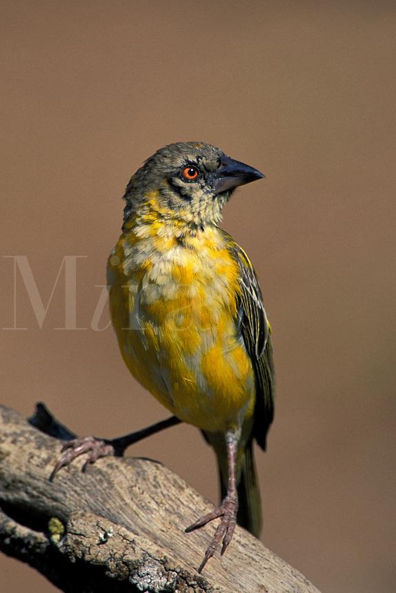 Masked Weaver, Ploceus velatus, female, Namibia, Africa
