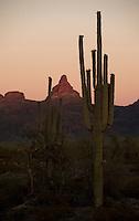 Saguaro cacti in Southern Arizona.