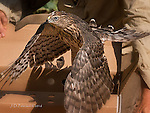 The Release: Young Cooper's Hawk, Cornville, Arizona © 2016 James D Peterson.  This youngster was raised in a wildlife shelter after it fell out of its nest.  It was carefully trained to fly and hunt, in preparation for the day when it could be released ffrom captivity.  This is its first takeoff as a free and wild creature no longer dependent on humans.  Bon voyage!