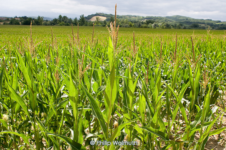 A field of maize in the Ariège department.