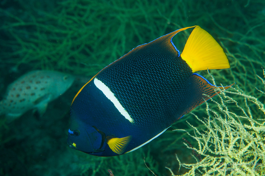 Sea of Cortez, Baja California, Mexico; a King Angelfish (Holacanthus passer) swimming above yellow polyp black coral