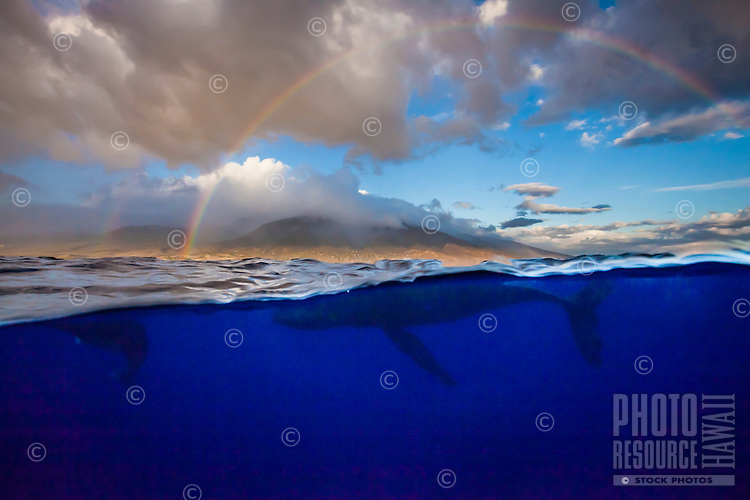 Humpback whales swimming off the coast of Maui with a double rainbow above.