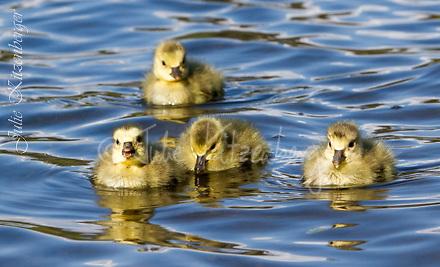 2014-05-05_13 Goslings-5 Goslings-Mute Swan