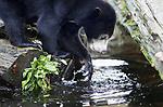 Foto: VidiPhoto<br /> <br /> ARNHEM – Na een voorzichtig begin, vermaken de drie pasgeboren Maleise beren van Burgers'Zoo zich donderdag met hun moeders in het buitenverblijf van de Arnhemse dierentuin. Voor het eerst werd de hele familie bij elkaar gevoegd en gezamenlijk naar buiten gestuurd. Voor de jongste telg was dat zelfs voor het eerst van zijn leven. De geboorte van  drie 'honingberen' is een unicum voor Europese dierentuinen. De zwaar bedreigde diersoort is over slechts vijftien dierenparken (37 beren) in Europa verspreid. Burger's heeft de grootste groep. Om de (veronderstelde) onvruchtbare vrouwen zwanger te krijgen moest zelfs een mannetje uit Schotland gehaald worden. Het afgelopen jaar zijn alleen in Arnhem Maleise beren geboren.