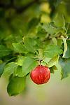 An apple hangs on a tree at Gowan's Oak Tree apple orchard, in Philo, Ca., on Sunday, Oct. 10, 2010.