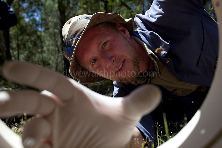 Devil's Eye View: Scientist Cameron Brooke reaches into a trap used for catching Tasmanian Devils  on the Forestier Peninsula, as part of the Save The Tassie Devil program.  The scientists are trapping  the animal to monitor for signs of Devil Facial Tumour Disease, a contagious cancer that scientists are only beginning to understand, but has spread rapidly through the population, leaving the devil listed as endangered. In December 2009, it was announced that the disease may be related a peripheral nerve cell, called the Schwann cell, which has led some hopes for preserving the devil, at least in terms of quarantine insurance populations.  The scientists are trapping and monitor the animals as part of a programme to control the further spread of the disease. The scientists are trapping and monitoring the animals here on the Forestier Peninsula as part of a programme to control the further spread of the disease and to create insurance populations.