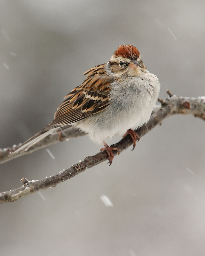 Small songbirds suffer the most during harsh winters. The problem is particularly severe for birds with small bodies. (Chipping Sparrow)