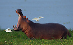 TANZANIA - JULY 2 - A hippopotamus opens his jaws while feeding on the banks of Lake Manze as cattle egrets follow in the Selous Reserve on July 2, 2010 in Tanzania, Africa. Many aquatic birds share a symbiotic relationship with hippos. Herons, egrets, and comorants will sit on the backs of hippos to catch fish, while other birds, such as oxpeckers, eat parasites like ticks and leeches that attach themselves to the sides of the hippos.  As the oxpeckers feed on parasites, they also clean out wounds and trim away dead or infected skin from the hippos.