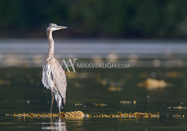 A great blue heron stands in the tidal flats off Vancouver Island.