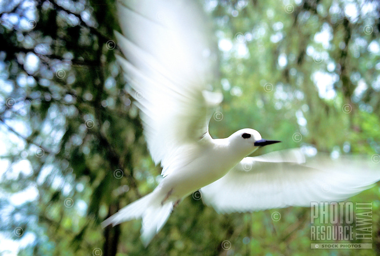 The white tern or manu o ku, (gygis alba rothschildi). Local on Oahu in urban Honolulu.