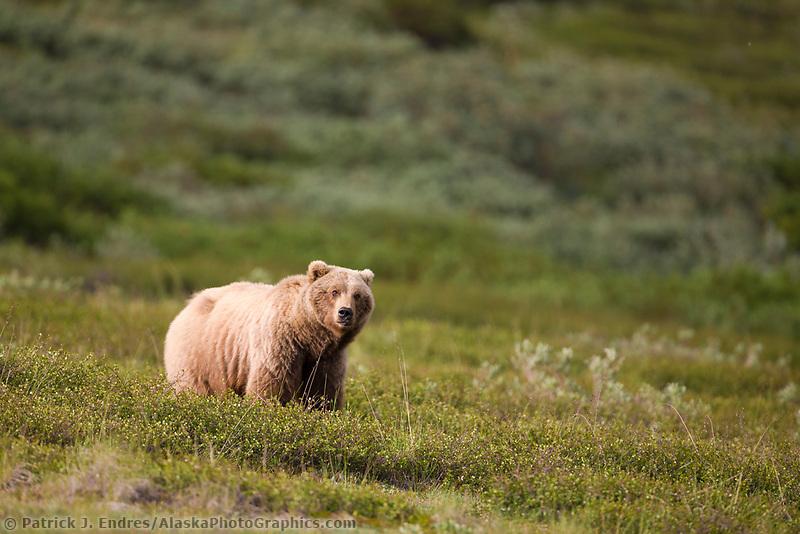 Sow grizzly bear, Sable Pass, Denali National Park, Interior, Alaska.