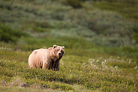 Sow grizzly bear, Sable Pass, Denali National Park, Interior, Alaska.