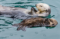 Sea Otter (Enhydra lutris) mom with sleeping young pup.  Prince William Sound, Alaska.  Spring.  Raining.