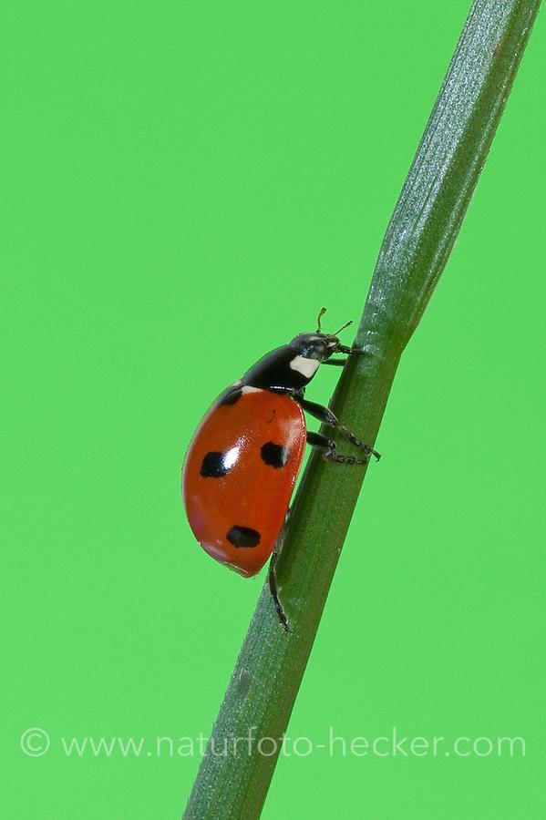 Siebenpunkt-Marienkäfer, Siebenpunkt - Marienkäfer, 7-Punkt, Coccinella septempunctata, seven-spot ladybird, sevenspot ladybird, 7-spot ladybird