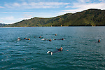 New Zealand, South Island: Dolphins and swimming with dolphins and Dolphin Watch  Ecotour snorkeling in Marlborough Sounds near Picton. Photo copyright Lee Foster. Photo # newzealand125338
