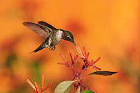 Ruby-throated Hummingbird (Archilochus colubris), male in flight feeding on Firebush (Hamelia patens) flower, Hill Country, Central Texas, USA