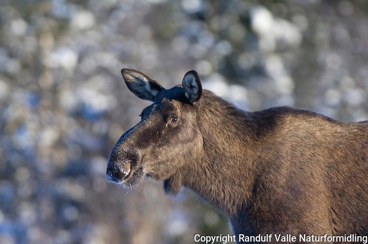 Elg ---- Moose