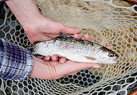 A trout caught while fly fishing at the Broadmoor Hotel's new fly fishing camp near Colorado Springs, Colorado, Monday, May 4, 2015. <br /> <br /> Photo by Matt Nager