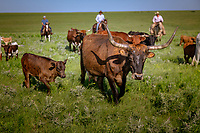 Cattle Drive in the Flint Hills of Kansas.