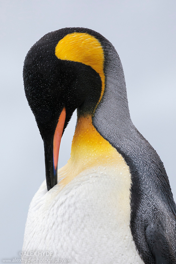 King Penguin (Mirounga leonina) at King Haakon Bay, South Georgia. November.
