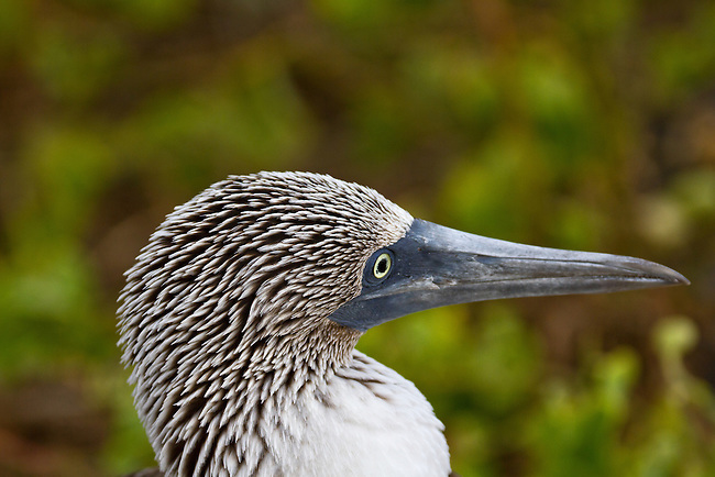 A close-up of a mature Blue-footed Booby's head and beak showing the white and brown head feathers and the bright yellow iris of the eye against a mottled brown and green background.