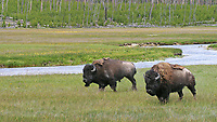 Two bison walk along what I think(?) may be the Gibbon River.