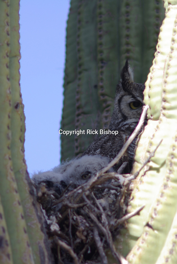 Great Horned Owl with young seen nested in a Saguaro Cactus in southern Arizona.