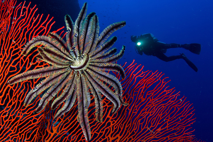 A crinoid on a bright red sea fan with diver in the background, Solomon Islands