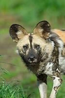 African Wild Dog (Lycaon pictus).(Woodland Park Zoo, Seattle WA)