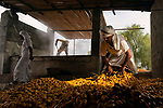Workers dry out thousands of fresh dates before they are taken to market.  The fruit is collected from trees before the best ones are selected and laid out in the bright sunshine.<br /> <br /> Each season this farm will produce around 10 tonnes of dates which will make the locals around £10,000.  Mr Haitham Al Farsi, captured the images in Jalan bani Bu Hassan in Oman.  SEE OUR COPY FOR DETAILS.<br /> <br /> Please byline: Haitham Al Farsi/Solent News<br /> <br /> © Haitham Al Farsi/Solent News & Photo Agency<br /> UK +44 (0) 2380 458800