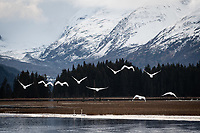 Migrating Trumpeter Swans, Portage, Alaska.