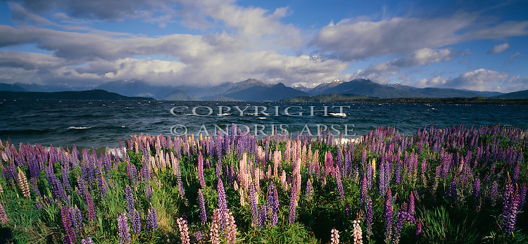 Flowering Lupin plants at Lake Manapouri. Southland Region. New Zealand.