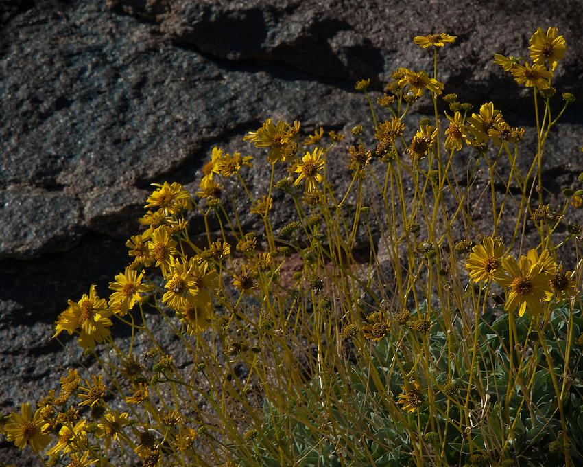 Brittlebush along a rocky slope, Anza Borrego Desert State Park, California