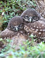 Two sleeping burrowing owl chicks