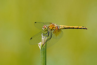 362700033 juvenile male band-winged meadowhawk sympetrum semicintum wild california