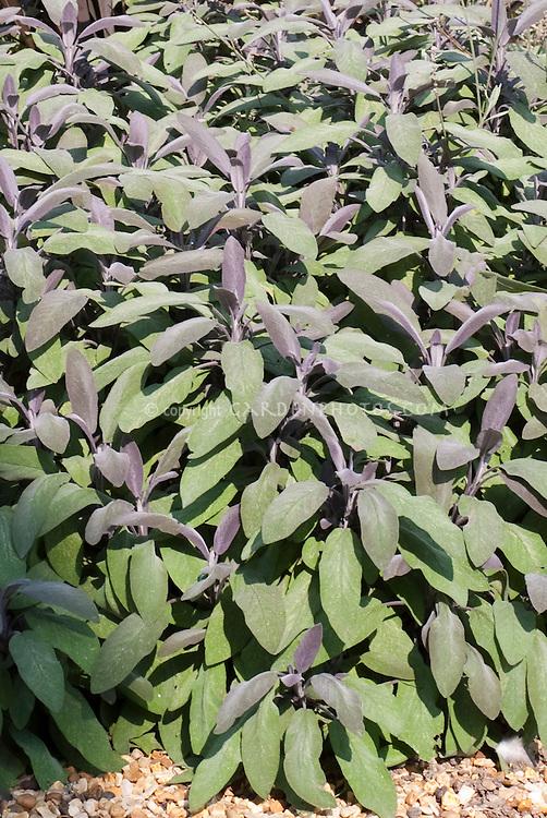 Salvia officinalis 'Purpurascens' Culinary Purple & Green Sage