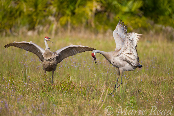 Florida Sandhill Cranes (Grus canadensis) (Florida race), pair dancing, Kissimmee, Florida, USA