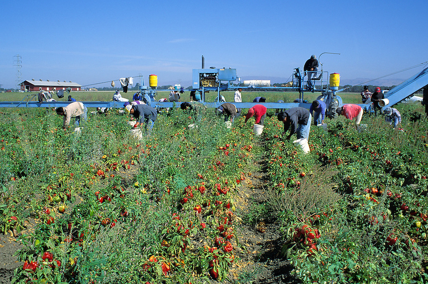 Migrant Hispanic workers harvest peppers, Salinas, California