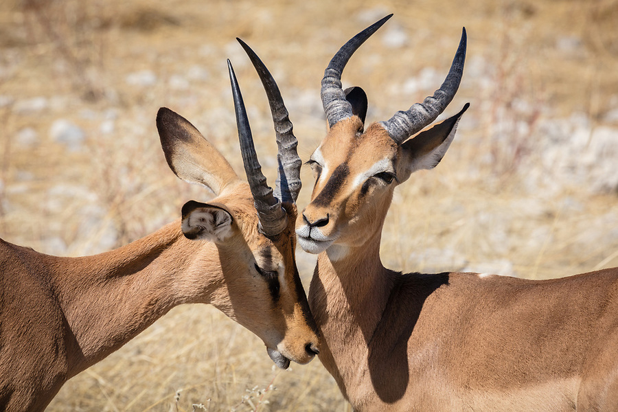 Two Young Impala Make-Up After A Friendly Clash Of Horns.