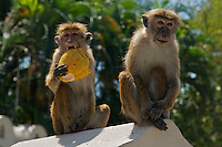 Monkeys Kandy Buddist temple, Palast