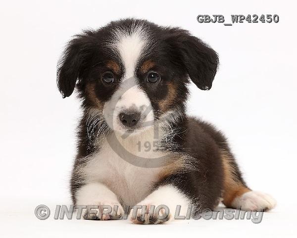 Kim, ANIMALS, REALISTISCHE TIERE, ANIMALES REALISTICOS, fondless, photos,+Mini American Shepherd puppy,++++,GBJBWP42450,#a#