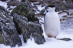 A chinstrap penguin in the South Orkney Islands.