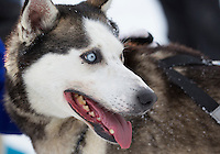 Bailey Schaeffer dog at the finish line of the 2016 Junior Iditarod in Willow, Alaska, AK  February 28, 2016